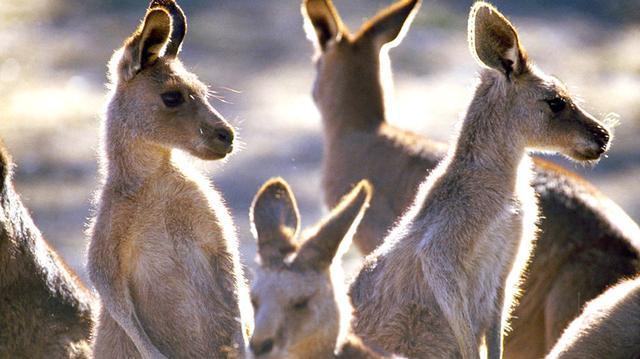 Klokaní ostrov - jižní Austrálie