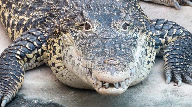 Krokodýl mořský