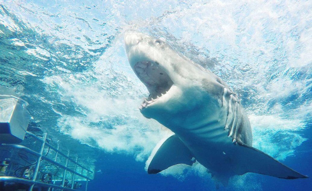 Potápění se žralokem bílým v kleci