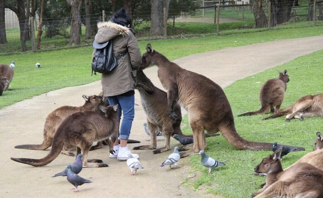 Zájezd Pláže Austrálie klokan