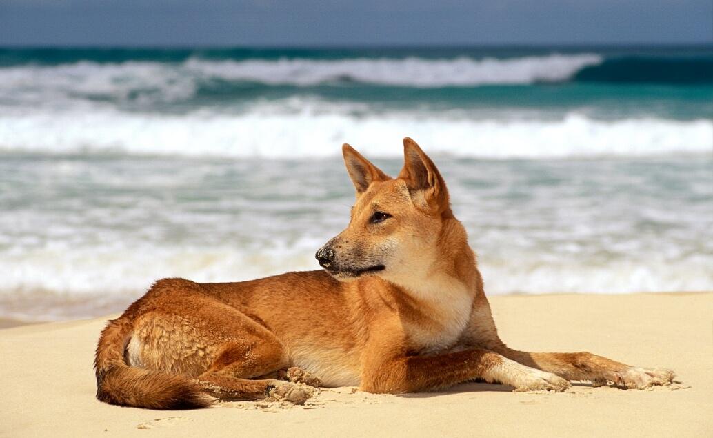 Zájezd Pláže Austrálie pes dingo